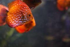Acquario con alcuni fisches tropicali Fotografia Stock Libera da Diritti