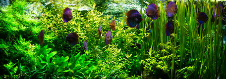 Acquario con i pesci del discus Fotografia Stock Libera da Diritti