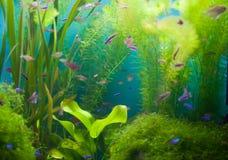 Acquario con i pesci e l'alga Fotografia Stock Libera da Diritti