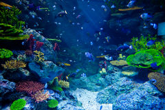 Acquario con il pesce tropicale variopinto ed i bei coralli Fotografia Stock Libera da Diritti