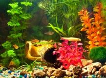 Acquario con le piante ed i pesci Immagine Stock Libera da Diritti