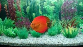 Acquario del pesce di disco Fotografia Stock