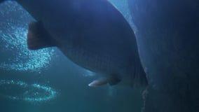 Acquario del pesce nuoto pericoloso del pesce in acquario in oceanarium Carro armato variopinto riempito di pietre, alga dell'acq video d archivio