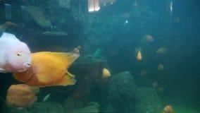 Acquario del pesce nuoto pericoloso del pesce in acquario in oceanarium Carro armato variopinto riempito di pietre, alga dell'acq stock footage