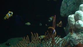 Acquario del pesce nuoto pericoloso del pesce in acquario in oceanarium Carro armato variopinto riempito di pietre, alga dell'acq archivi video