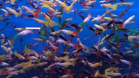 Acquario di Guppie Immagine Stock