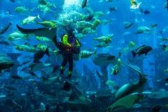 Acquario enorme nel Dubai. Pesci d'alimentazione dell'operatore subacqueo. Immagine Stock