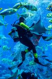 Acquario enorme nel Dubai. Pesci d'alimentazione dell'operatore subacqueo. Immagine Stock Libera da Diritti