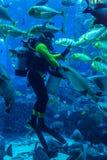 Acquario enorme nel Dubai. Pesci d'alimentazione dell'operatore subacqueo. Immagini Stock