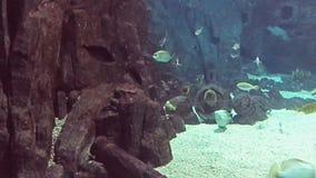 Acquario marino in pieno dei pesci e delle piante tropicali Murena macchiata del favo in roccia stock footage