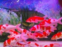 Acquario tropicale domestico del serbatoio di pesci fotografia stock