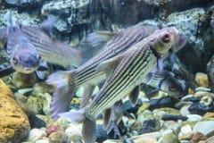 Acquario variopinto con i pesci Fotografie Stock