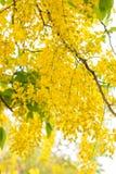 Acquazzone dorato Fotografia Stock
