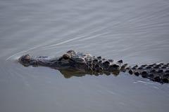 Acque dell'alligatore americano ancora Fotografia Stock Libera da Diritti