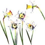 Acquerello bianco luminoso del mazzo della molla di cinque bello narcisi Immagini Stock Libere da Diritti