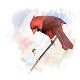 Acquerello cardinale nordico maschio Fotografia Stock
