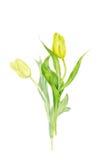 Acquerello che dipinge due tulipani Tulipani isolati giallo su fondo bianco Immagini Stock
