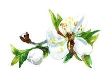 Acquerello che dipinge il fiore di Apple Fotografia Stock Libera da Diritti