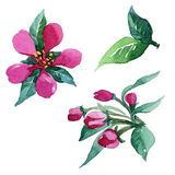 Acquerello che dipinge il fiore di Apple Fotografie Stock