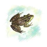 Acquerello comune della rana dell'acqua Immagini Stock