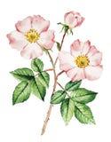 Acquerello del cespuglio di rose Fotografia Stock