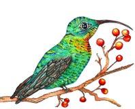 Acquerello del colibrì Fotografia Stock Libera da Diritti
