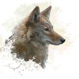 Acquerello del coyote Immagine Stock