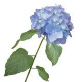Acquerello del fiore dell'ortensia Fotografie Stock Libere da Diritti