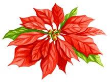 Acquerello del fiore della stella di Natale Fotografie Stock Libere da Diritti