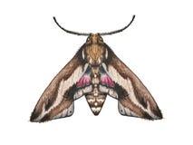 Acquerello del lepidottero dell'illustrazione su fondo bianco illustrazione vettoriale