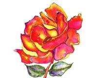 Acquerello delle foglie e di Rosa Fotografia Stock