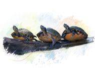 Acquerello delle tartarughe di Florida Fotografie Stock Libere da Diritti