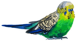 Acquerello di Budgies illustrazione vettoriale