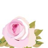 Acquerello Rose Flower rosa Immagini Stock