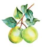 Acquerello verde botanico delle mele Fotografia Stock Libera da Diritti