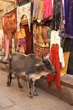 Acquisto della mucca fotografia stock libera da diritti