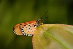 Free Acraea Acrita, The Fiery Acraea,  Butterfly Of The Family Nymphalidae, From Uganda In Africa. Orange Insect In The Nature Habitat Stock Photography - 213273412