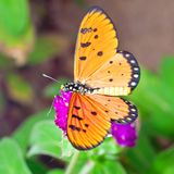 An Acraea Butterfly on Purple Amaranth Flower Royalty Free Stock Photos