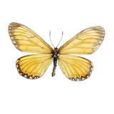 Acraea issoria butterflies Stock Photography