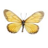Acraea-issoria Schmetterlinge Stockfotografie