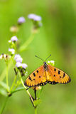 Acraea violae butterfly with open wings on on wild grass flower. Stock Images