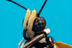 Acraea-violae Schmetterling Stockfotos