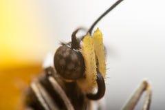 Acraea-violae Schmetterling Stockbild