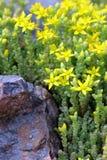 Acre amarillo de Sedum (uva de gato de Goldmoss) fotografía de archivo
