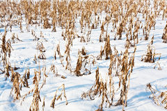 Acre covered with snow and corn Stock Images