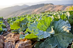 Acres of cabbage. Stock Photography