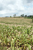 Acres of corn. Royalty Free Stock Photos