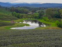 Acres de plantations de thé photos stock