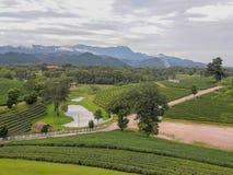Acres de plantations de thé images libres de droits
