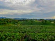 Acres de plantations de thé images stock